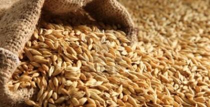 spring_barley