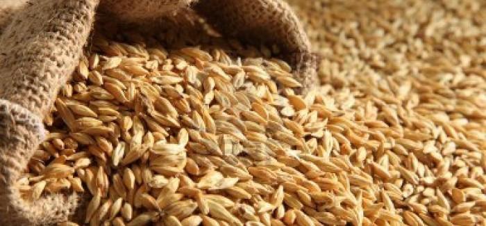 CHAMPION Spring Variety – Feed Barley
