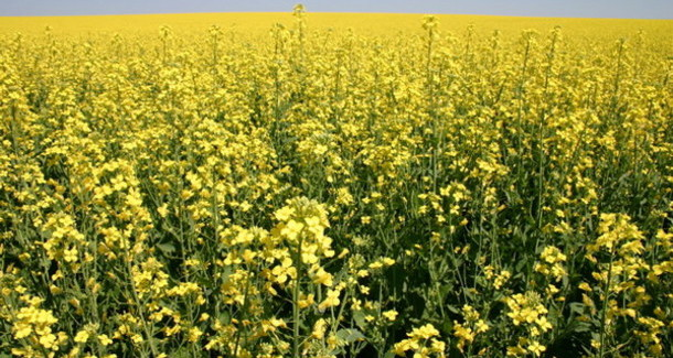 New canola seed varieties for 2015