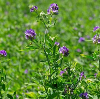 DuPont Pioneer Introduces Exclusive Pioneer® Brand Alfalfa Varieties With HarvXtra® Technology